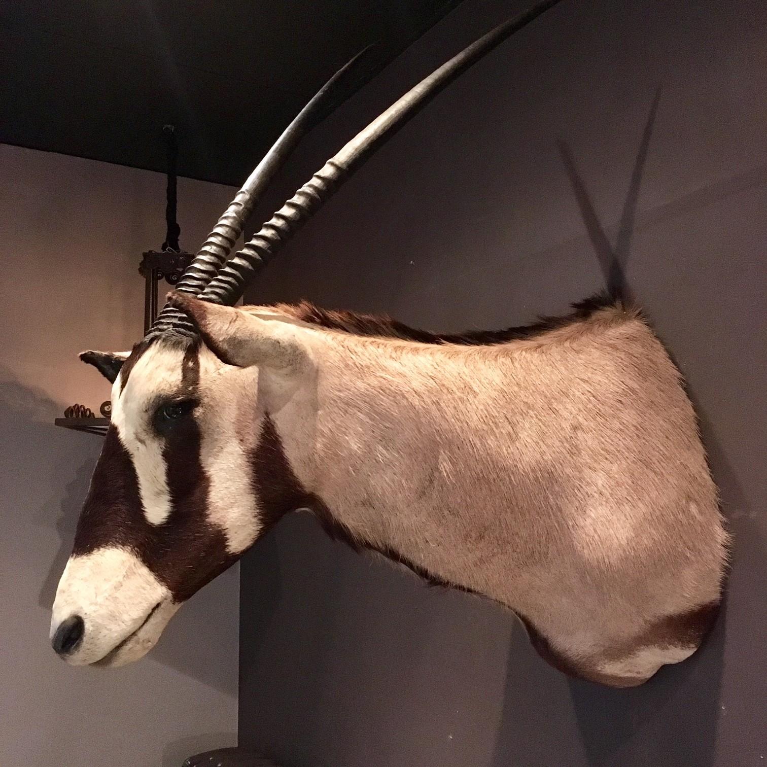 Taxidermie kop van een Oryx